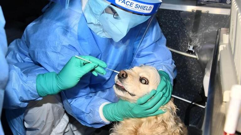 اخضاع كلب في كوريا الجنوبية لاختبار كورونا