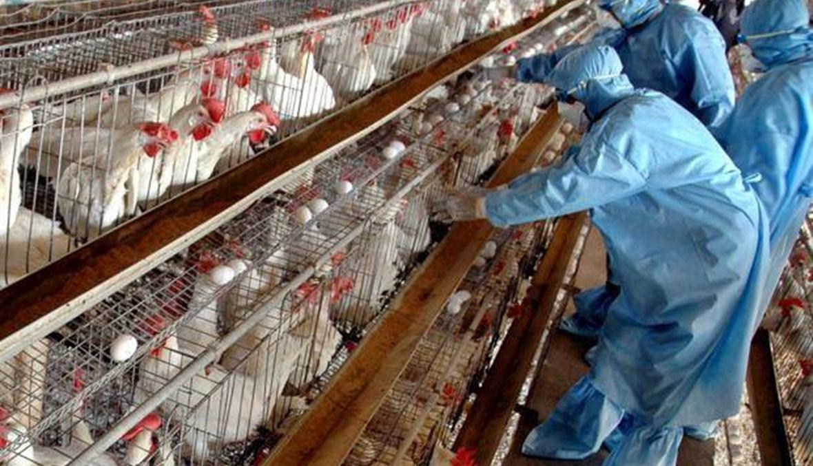 رصد بؤرة لتفشي إنفلونزا الطيور في هولندا