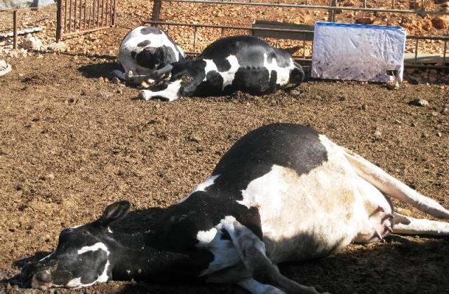 بعد أنفلونزا الطيور وطاعون المجترات الصغيرة،  تفشي الحمى المالطية وسط الأبقار بالجزائر