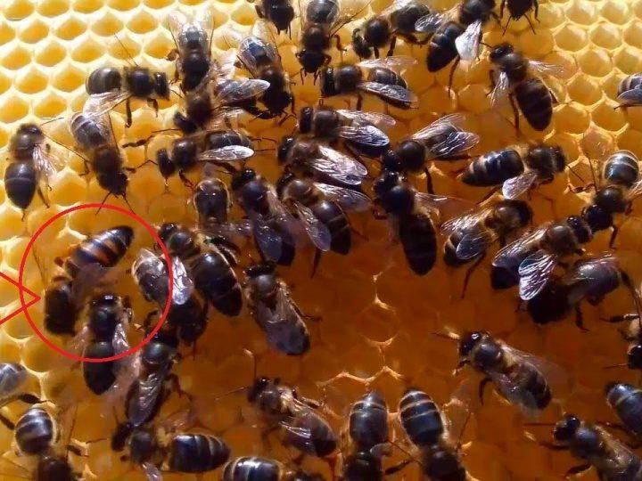 هولاندا..  تدريب النحل للكشف عن فيروس كورونا