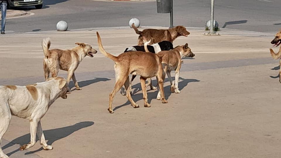 جحافل الكلاب الضالة تجوب أحياء وجدة  وتزرع الرعب وسط الأطفال